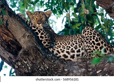A beautiful female leopard I caught posing in this jackelberry tree for only a few seconds.