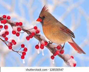 A beautiful female Northern Cardinal (Cardinalis cardinalis) at icy red winter berries with blue sky in the background.