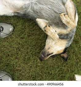 Beautiful female Queensland Heeler dog playing and lying on her back in the grass in the afternoon