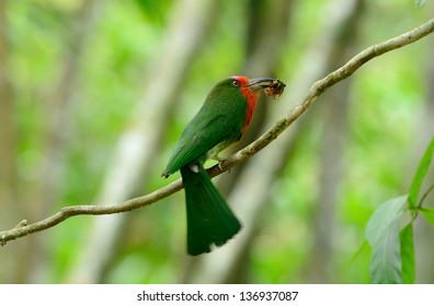 beautiful female Red-bearded Bee-eater (Nyctyornis amictus) with insect at Kaeng Krachan National Park,Thailand