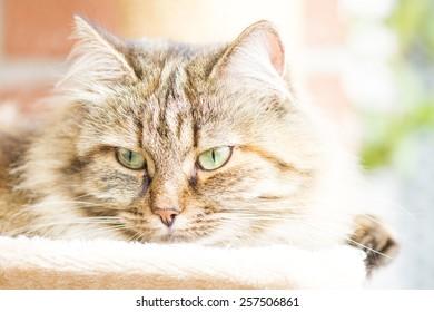 beautiful female of siberian cat, brown tricolor