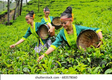 Beautiful female tea picker in tea plantation in Tambi, Indonesia, August 13, 2016
