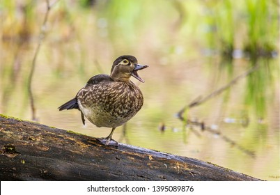A beautiful female wood duck, quacking away in the forest.