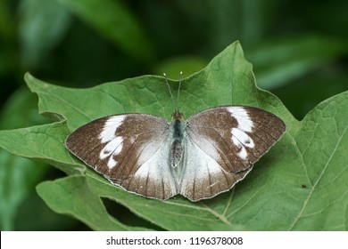 A beautiful female Yellow Orange-tip butterfly (Ixias pyrene) is seated on leaf by spreading colorful wings, close up top view of open wings in a abstract green background, Jayanti buxa, West Bengal