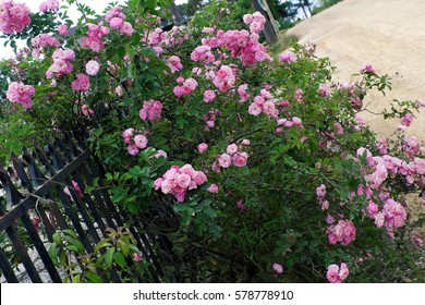 Beautiful fence of a home at Dalat, Vietnam, Climbing roses trellis front of the house, bunch of pink flower with green leaf from rosebush make nice view. Da Lat is city of flower for Viet Nam tourism