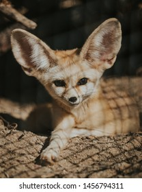 Beautiful fennec fox looking with big ears