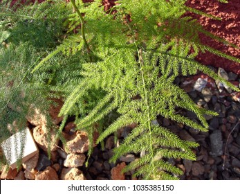 Beautiful fern aspargus