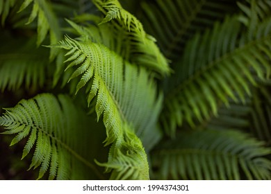 Beautiful fern leaf texture in nature. Natural ferns background Fern leaves Close up ferns nature. Fern plants in forest Background of the ferns Nature concept. Green ferns nature. Natural floral fern