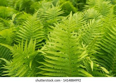 Beautiful ferns leaves green foliage nature. Floral fern background. Ferns leaves green foliage. Tropical leaf. Exotic forest plant. Botany concept. Ferns jungles. Vibrant ferns close up.
