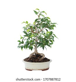 beautiful Ficus benjamina bonsai over white background, in a chinese ceramic bowl