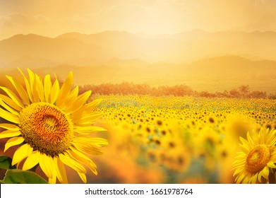 Beautiful field of blooming sunflowers against sunset golden light and blurry  mountains landscape background