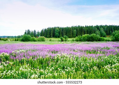 Beautiful field of Chamerion angustifolium (Rosebay willowherb or fireweed flowers). Summer in Lapland, Northen Finland.