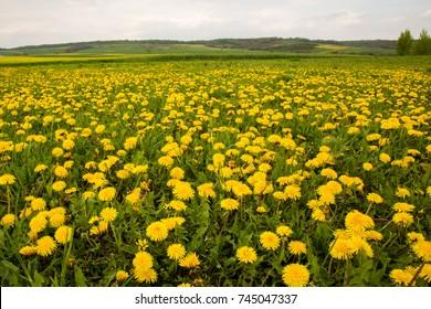 Beautiful field of dandellion flowers