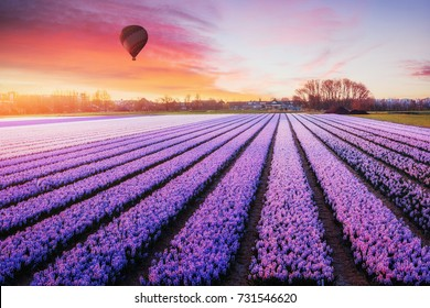 A beautiful field of flowers in Holland. Balloons in the background. Fantastic spring event.