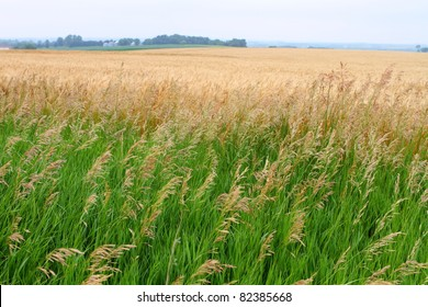 Beautiful field of golden wheat