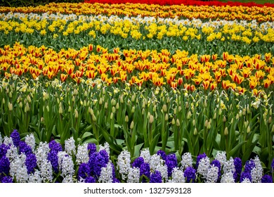 Beautiful Field Growing Hyacinths, Tulips, and Daffodils outside of Amsterdam, Netherlands