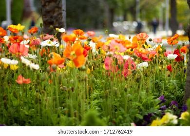 Beautiful field of poppy flowers, spring flowers in an European flowerbed