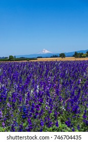 A beautiful field of purple flowers in the Willamette Valley, Oregon, with backdrop of a snow-capped Mount Hood.