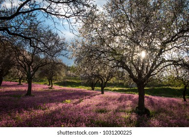 Beautiful field with purple vail of flowers in the ground, and almond tree full of white blossoms early in spring.