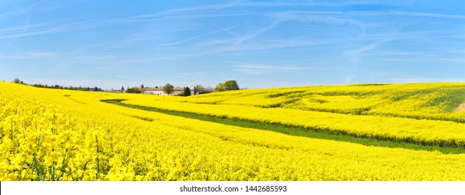 A beautiful field of rapeseed in the country