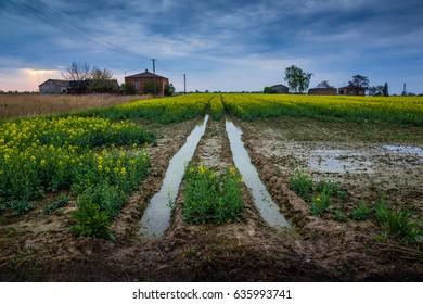 Beautiful field rapeseed in Poland