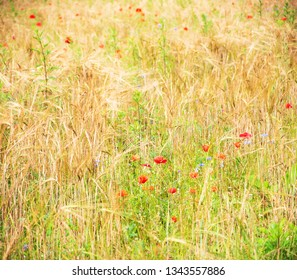 Beautiful field with red poppies, blue cornflower flowers and ripe golden spikes. Natural beauty background. Selective focus. Biodiversity /ecology / environment / eco planet concept.