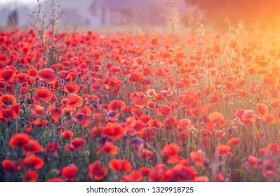Beautiful field of red poppies in the sunset light.