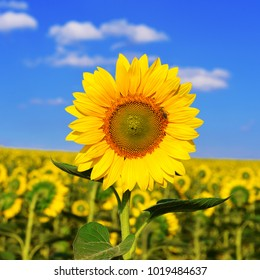 A beautiful field of sunflower flowers on a blue sky background. Yellow. Insect on the petal of the bee and wasp