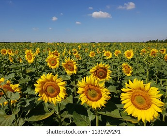 Beautiful field with sunflower in Russia
