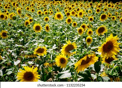 A beautiful field of sunflowers at Dorothea Dix Park in Raleigh North Carolina