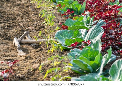 A beautiful field with vegetables in morning time.