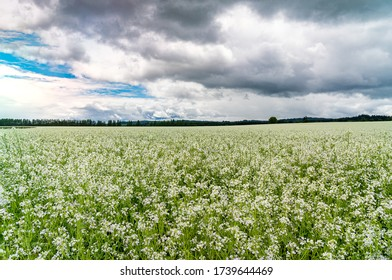 Beautiful Field of White Buckwheat blooming in Spring and Trees, Clouds. Buckwheat has many medicinal benefits, is used in foods and fixes the nutrients in the soil and bees make tasty honey.