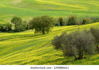 Beautiful field of yellow rape flowers with Olive Trees in the Tuscan countryside, near Pienza (Siena). Italy