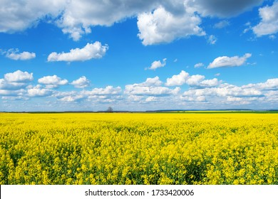 Beautiful field with yellow rapeseed flowers. Cloudy sky Nature. Landscapes. Natural background.