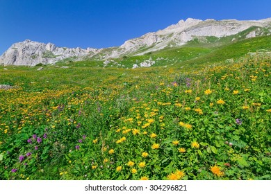 Beautiful fields of flowers in the mountains of the North Caucasus.