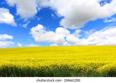 Beautiful fields of rapeseed in Springtime