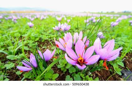 Beautiful fields of violet saffron flowers