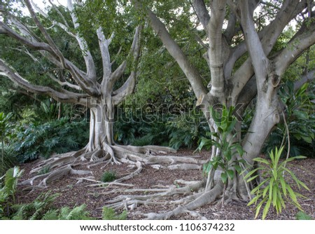 Fig Roots Pictures