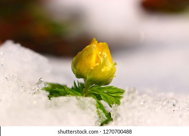 "It is a beautiful figure of ""Adonis amurensis"" that bloomed in the snow."