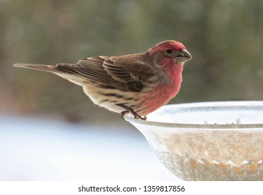 Beautiful Finch eating birdseed out of a pretty glass dish.