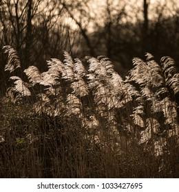 Beautiful fine art intimate landscape image of backlit reeds in Winter sun