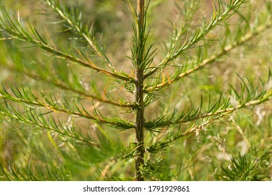 A beautiful fir tree, a seedling in the woods by planting forest