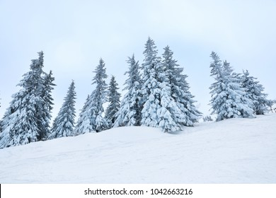 Beautiful fir trees covered with snow on winter day