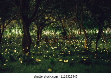 The beautiful firefly in the forest. Firefly flying in the bush at night in Prachinburi Thailand. The firefly very much in the forest.Background blur.