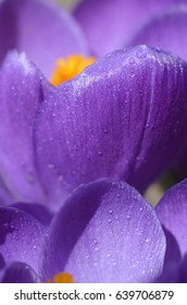 Beautiful first spring flowers crocuses bloom under bright sunlight. Macro shot of flower under dewdrops