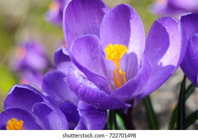 Beautiful first spring flowers crocuses bloom under bright sunlight.