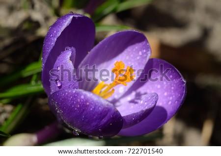 Beautiful first spring flowers crocuses bloom stock photo edit now beautiful first spring flowers crocuses bloom under bright sunlight mightylinksfo