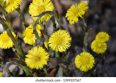 Beautiful first spring sign blossom Coltsfoot flowers