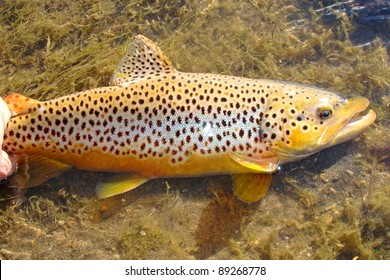 Beautiful fish - Brown Trout caught fly fishing