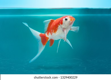 Beautiful fish in fishtank, turquoise underwater background with black and white shubunkin comet fish